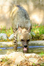 Thirsty hyena Royalty Free Stock Photo