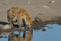 Thirsty hyena lapping water drinking from waterhole in etosha national park namibia Royalty Free Stock Images