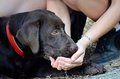 Thirsty labrador view of brown Royalty Free Stock Photos