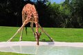 Thirsty reticulated giraffe drinking camelopardalis in a pool of water in zoo miami south florida Royalty Free Stock Photo