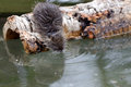 Thirsty rodent a drinking in a river Royalty Free Stock Photo