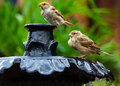Thirsty sparrows on fountain these two were spotted a near the mall in washington dc while they were drinking and bathing in the Royalty Free Stock Photos
