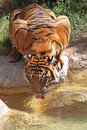 Thirsty tiger close up detail view of drinking from golden pond Royalty Free Stock Image