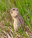 Thirteen lined ground squirrel also known as the striped gopher leopard and squinney it can be found in the grasslands of north Stock Image