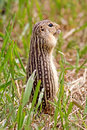 Thirteen lined ground squirrel also known as the striped gopher leopard and squinney it can be found in the grasslands of north Stock Photography