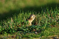 Thirteen-Lined Ground Squirrel Eating Royalty Free Stock Photo