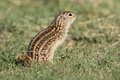 Thirteen lined ground squirrel in prairie Royalty Free Stock Photo