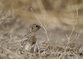 Thirteen lined ground squirrel spermophilus tridecemlineatus at alamosa national wildlife refuge in colorado Stock Images