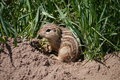 Thirteen lined ground squirrel spermophilus tridecemlineatus the ictidomys also known as the striped gopher leopard squinney Stock Image