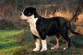 Thirteen weeks old female puppy Old English Bulldog Royalty Free Stock Photo