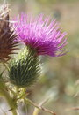 Thistle Bloom Stock Photos