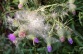 Thistle with blossoms and seeds in autumn Stock Photos