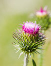 Thistle bud Royalty Free Stock Photo