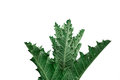 Thistle bush with thorny leaves on white backround Royalty Free Stock Image
