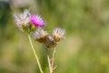 Thistle, Cirsium Arvense Royalty Free Stock Photo