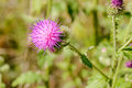 Thistle, Cirsium Arvense Royalty Free Stock Photo
