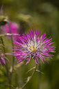 Thistle close up of a and blurred background Royalty Free Stock Image