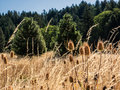 Thistle and dried grass field late summer produces fields of heads conifer forest in background Stock Photos