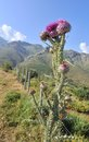 Thistle flower beautiful wild in mountain landscape Royalty Free Stock Photo