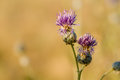 Thistle Flower in bloom in the field Royalty Free Stock Photo
