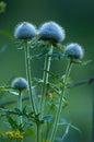 Thistle Flower In Evening Light