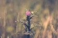 Thistle Flower In Field