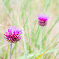Thistle flower in the meadows. Onopordum Acanthium. Spiky plant Royalty Free Stock Photo
