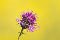 Thistle flower with yellow rapeseed field in the background Stock Photo