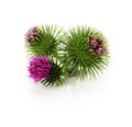 Thistle flowers isolated on the white background Royalty Free Stock Photo