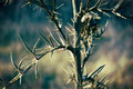 Thistle Flowers, Thorns