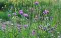 Thistle milk thistle beautiful bush flowers on a sunny afternoon Royalty Free Stock Photography