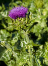 Thistle plant flower Royalty Free Stock Photo