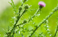 Thistle plant Royalty Free Stock Photo