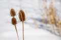 Thistle plant in winter with other plants background Royalty Free Stock Photos