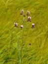 Thistle purple flower Royalty Free Stock Photo