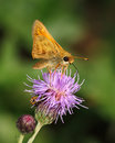 Thistle and skipper tiny butterfly on a purple flower family hesperiidae Royalty Free Stock Photo