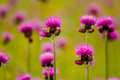 Thistle violet lat carduus defloratus Royalty Free Stock Photography