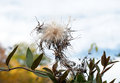 Thistledown explosion thistle plant dispersing or seeds into air in fall thistles are considered a nuisance plant but is also used Royalty Free Stock Photos