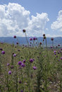 Thistles Against the Uinta Mountains, Utah Royalty Free Stock Photos