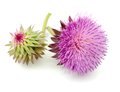 Thistles flower and bud isolated on white Stock Photos