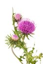 Thistles flower isolated on white Stock Photo