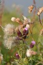 Thistles gone to seed wild in autumn going Royalty Free Stock Photos