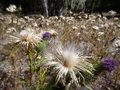 Thistles on a meadow in the autumn Royalty Free Stock Photo