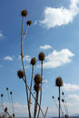 Thistles, Village And Blue Sky