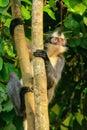 Thomas leaf monkey Presbytis thomasi sitting in a tree in Gunu Royalty Free Stock Photo
