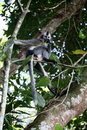 Thomas's leaf monkey, Presbytis thomasi Royalty Free Stock Photo