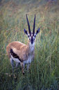 Thompson's gazelle, Africa Stock Images