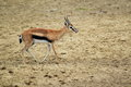 Thomson gazelle in the soil Royalty Free Stock Photography