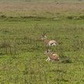 Thomson`s gazelle Royalty Free Stock Photo
