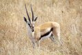 Thomson s gazelle gazella thomsonii in the african savanna Royalty Free Stock Image